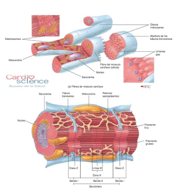 IMG 1.7 Histología del tejido muscular cardiaco - Cardio Science