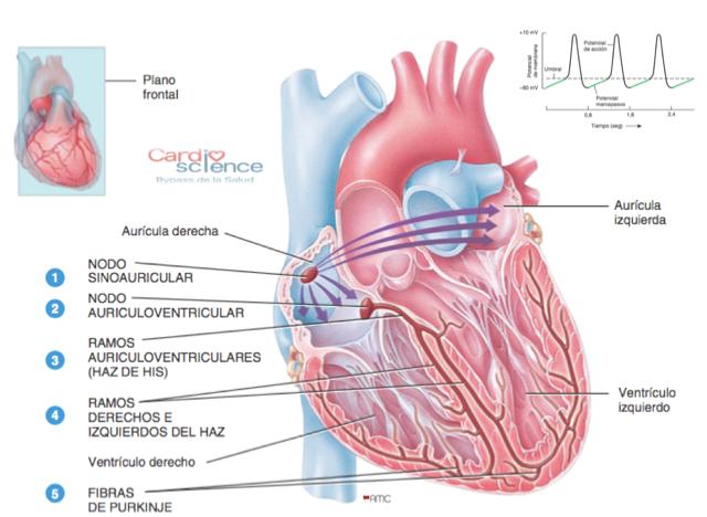 IMG 2.3 Sistema de conducción cardiaco - Cardio Science